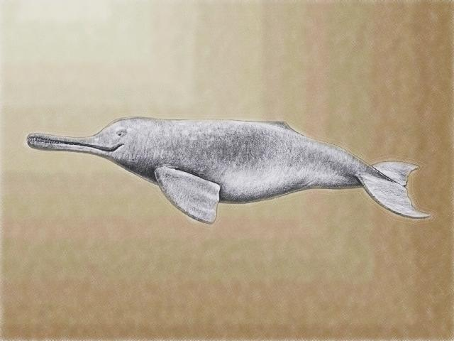 Animal Info - Indus River Dolphin