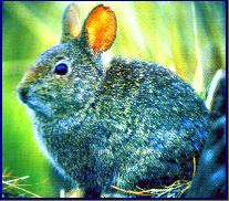 Animal Info - Volcano Rabbit