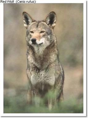 Animal Info - Red Wolf